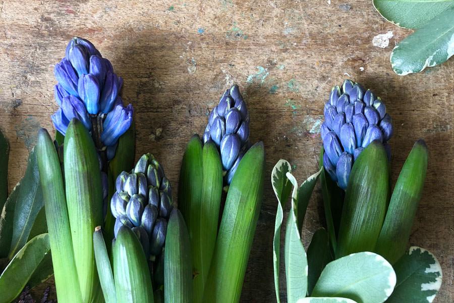 Modre hiacinte ležijo razporejene na mizi