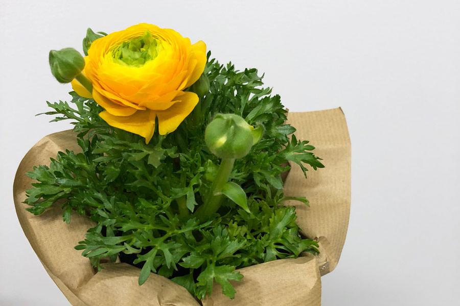 rumena ranunkula zavita v dekorativnem papirju